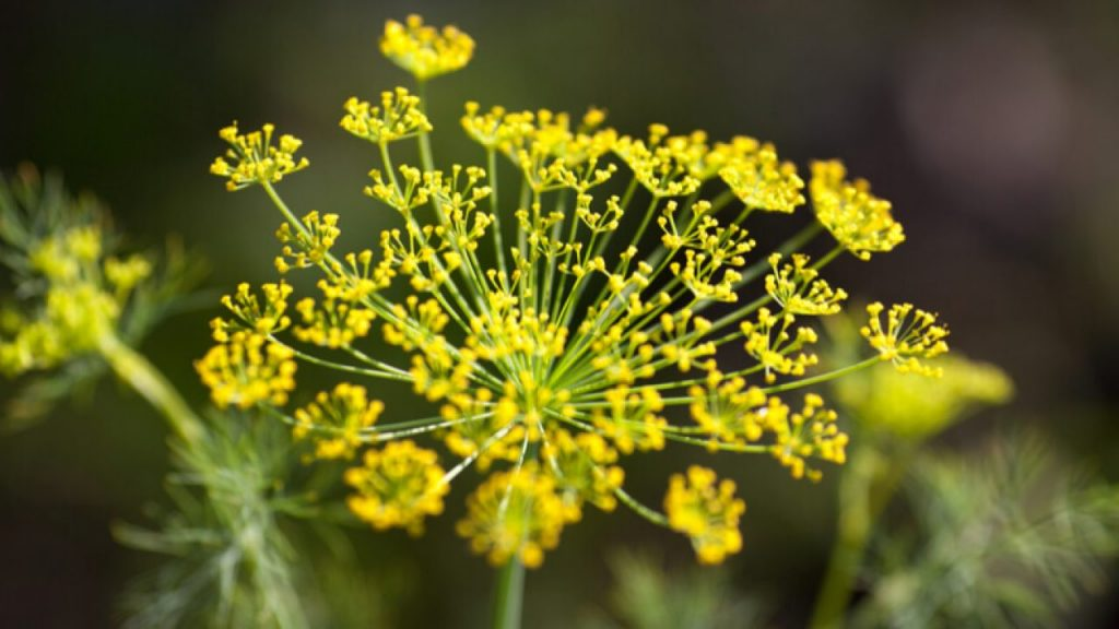 This image has an empty alt attribute; its file name is fennel-flowers-1280x720-1-1024x576.jpg